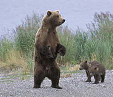 Grizzly-bear1